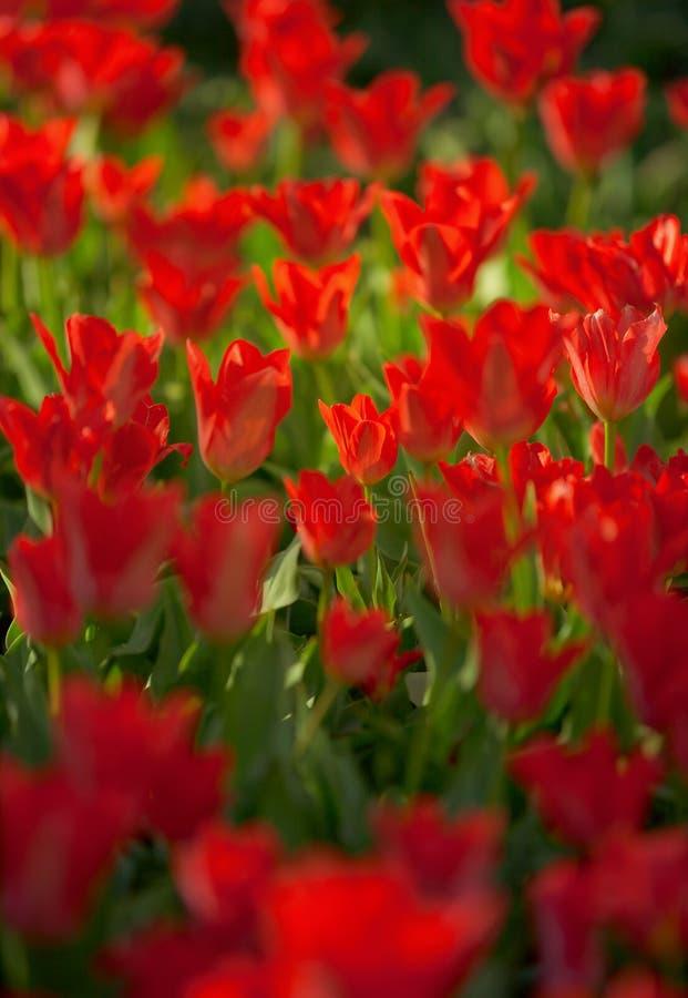 Trillende rode kleurrijke Tulpen royalty-vrije stock foto's