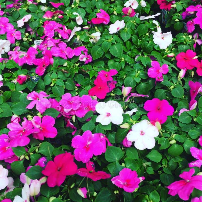 Trillende roze en witte bloemen royalty-vrije stock foto