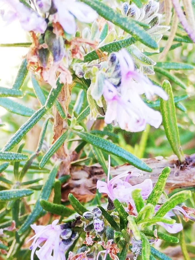 trillende rozemarijnbloemen royalty-vrije stock foto's
