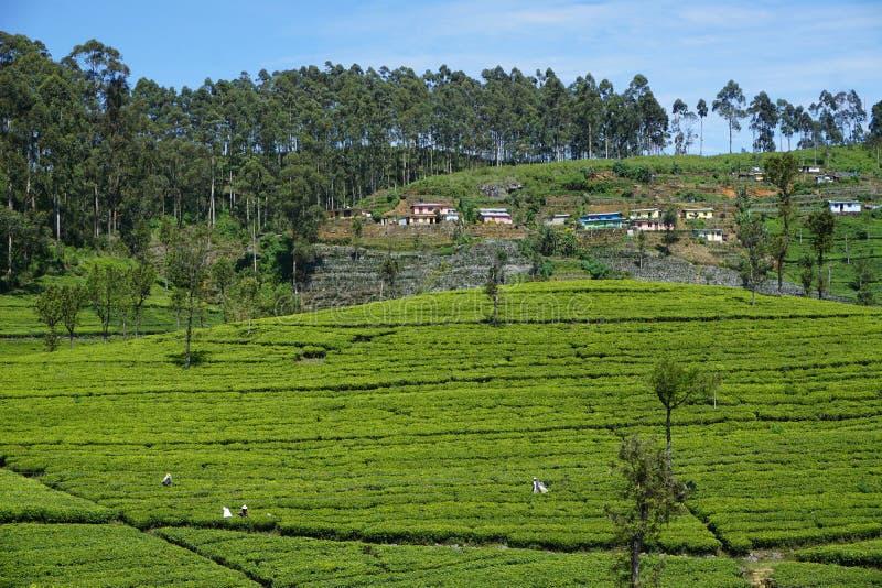 Trillende Theeaanplanting in Sri Lanka royalty-vrije stock fotografie