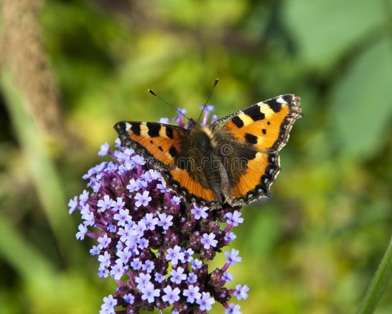 Trillende vlinder op een purpere Bloem stock afbeeldingen