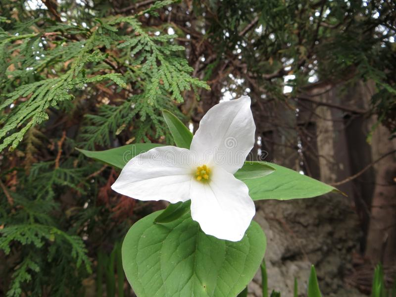 Trillium stock photography