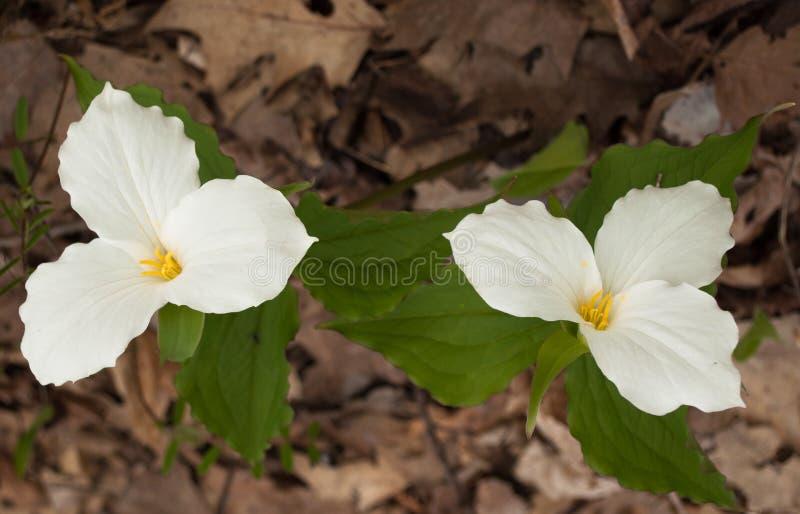 Trillium Grand-fleuri images libres de droits