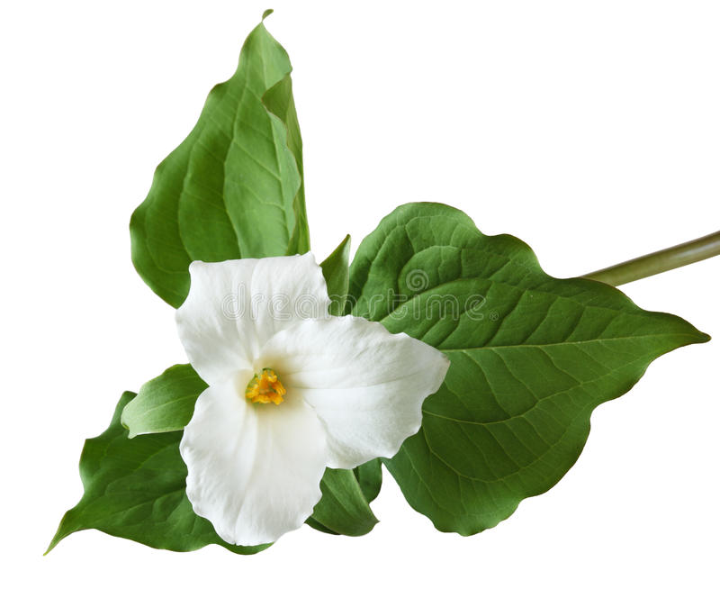 Trillium grandiflorum Flower stock image