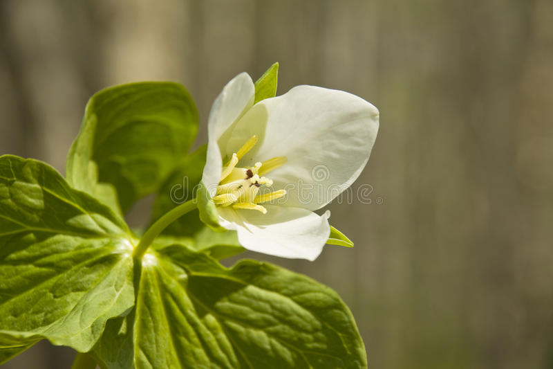 Trillium kamchatkan (camschatcense de Trillium) images libres de droits