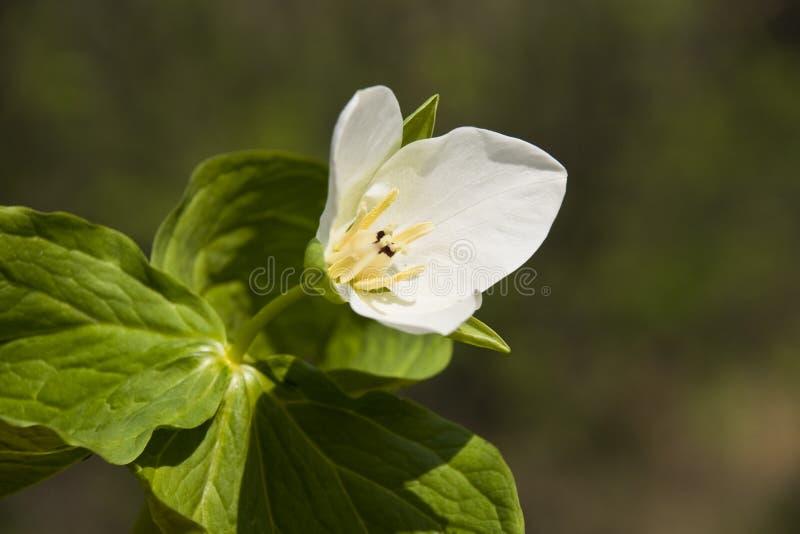 Trillium kamchatkan (camschatcense de Trillium) photos libres de droits