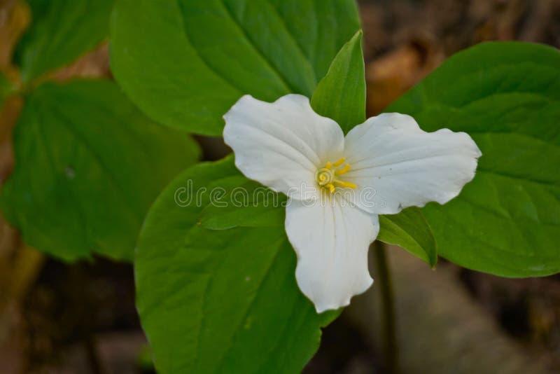 trillium ontario цветка Канады официальный стоковое изображение rf