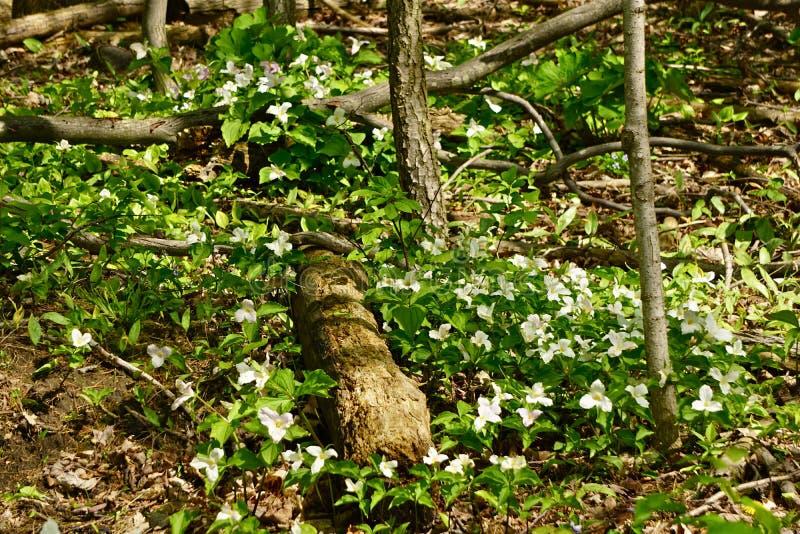 Trilliums dans les bois images libres de droits