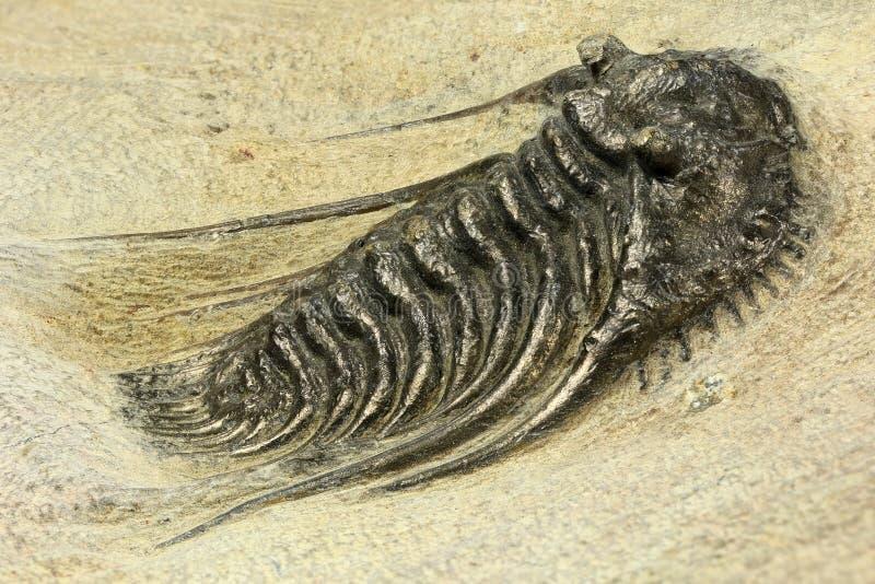 trilobite arkivbild