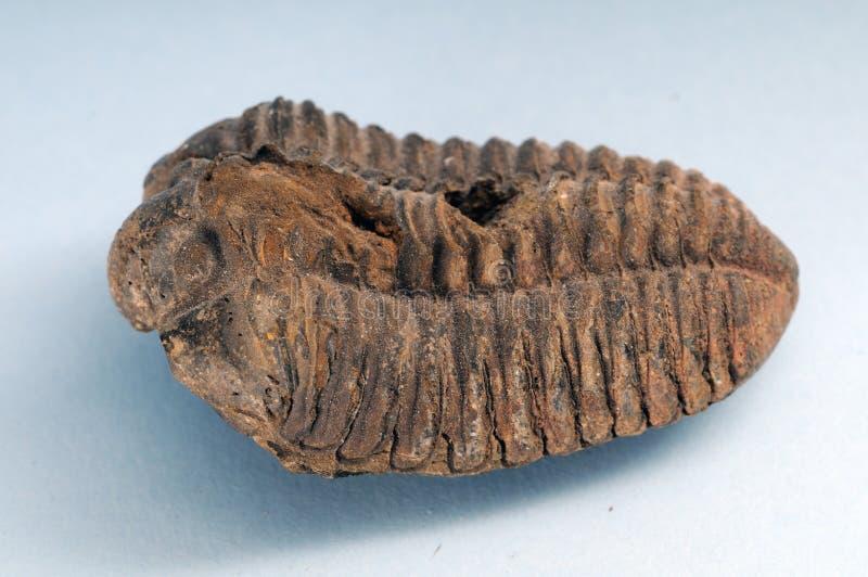 Trilobite lizenzfreie stockfotografie