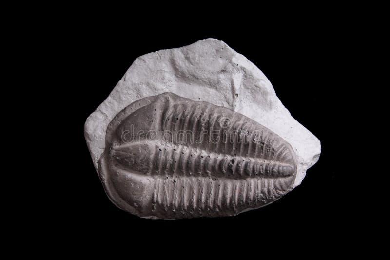 Trilobite lizenzfreie stockbilder