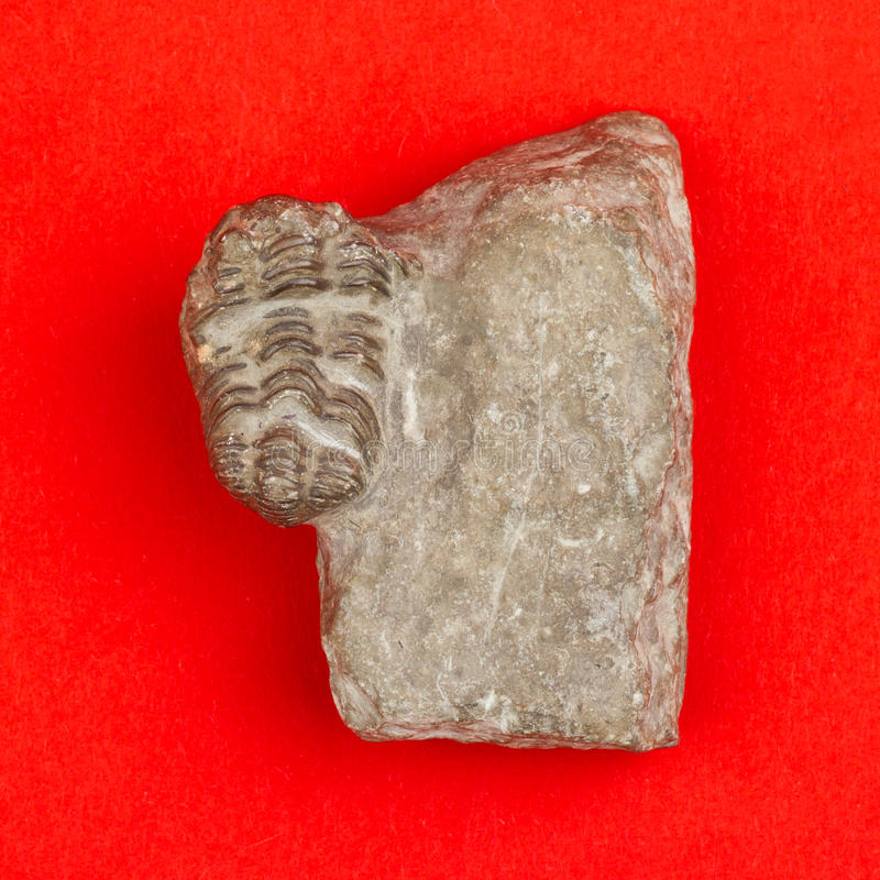 Trilobite fossil. On a red background royalty free stock images