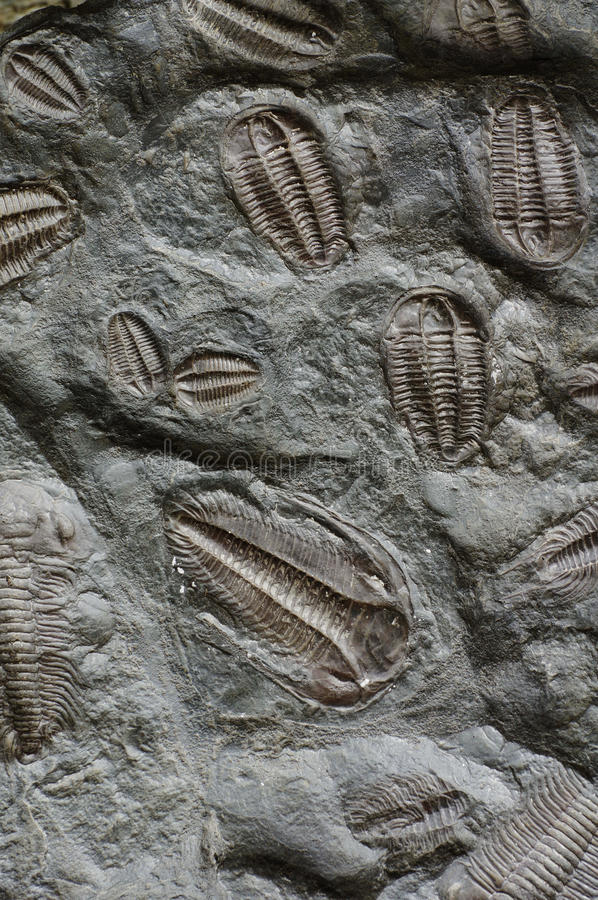 Trilobite fossil. Animals stone backgrounds royalty free stock images