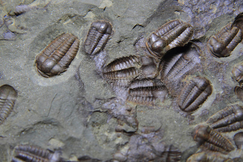 Trilobite fossil as very nice background. Trilobite fossil as very nice natural background royalty free stock photos