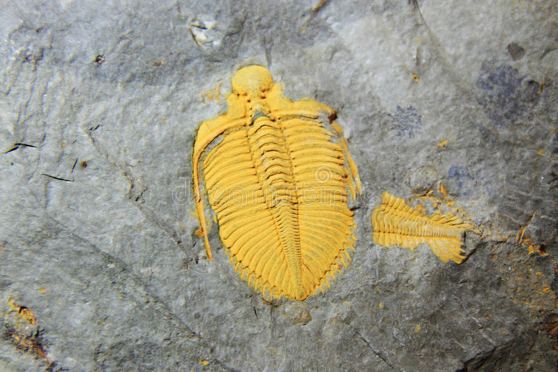 Trilobite fossil. As very nice natural geology background stock images