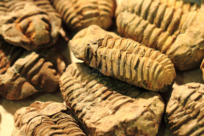 Trilobite fossil background. Trilobite fossil as very nice natural background royalty free stock photography