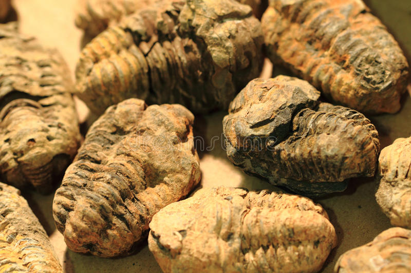 Trilobite fossil background. Trilobite fossil as very nice natural background royalty free stock image