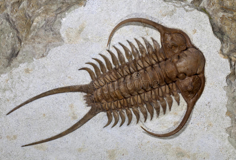 Trilobite fossil (Cheirurus ingricus) royalty free stock image