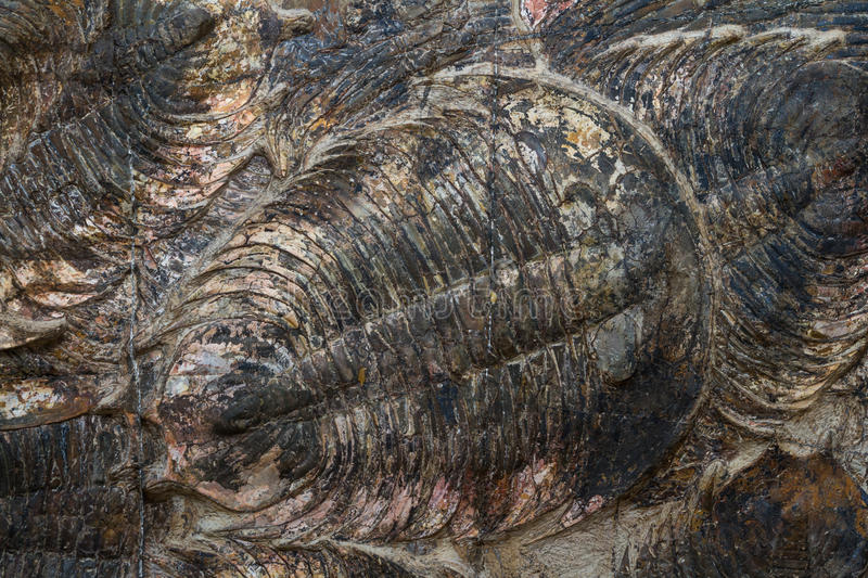 Trilobite fossil. Close up of a well preserved trilobite fossil stock photos