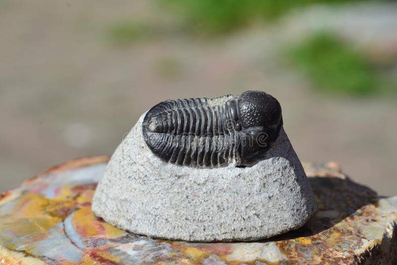 Trilobite fossil- detalj royaltyfria bilder