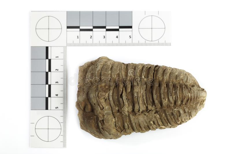 Fossil of African trilobite documented on white background with measure stock photography