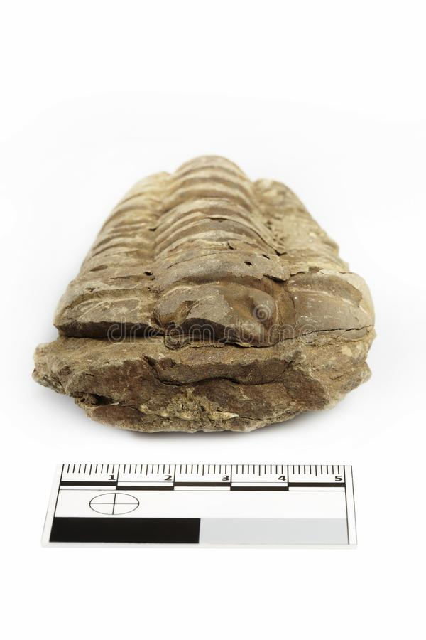 Fossil of African trilobite documented on white background with measure. Trilobite fossil found probably in Morocco documented with scale and measure on white stock photo