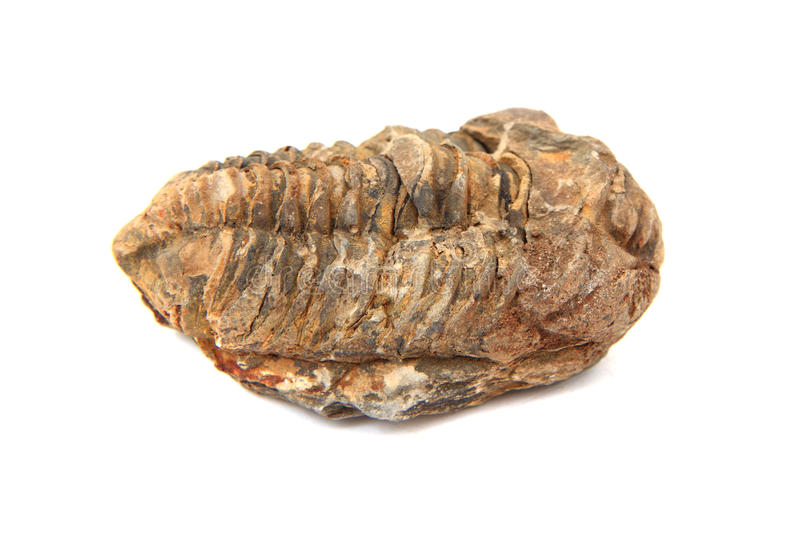 Trilobite fossil. Isolated on the white background stock photography