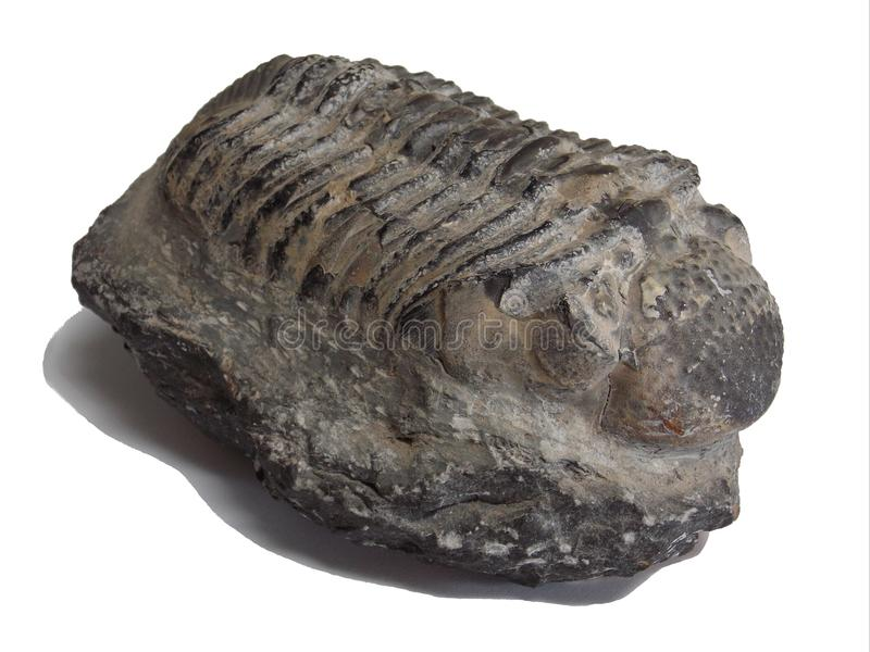 Trilobite fossil from Morocco phacops rana stock photos