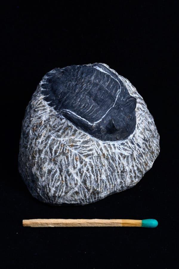 Trilobite fossil. Small trilobite fossil still embedded in matrix stock photo