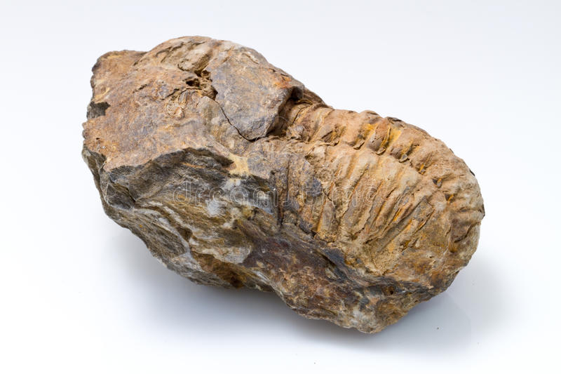 Trilobite Fossil. A Trilobite fossil specimen is still partially encased in rock royalty free stock photo