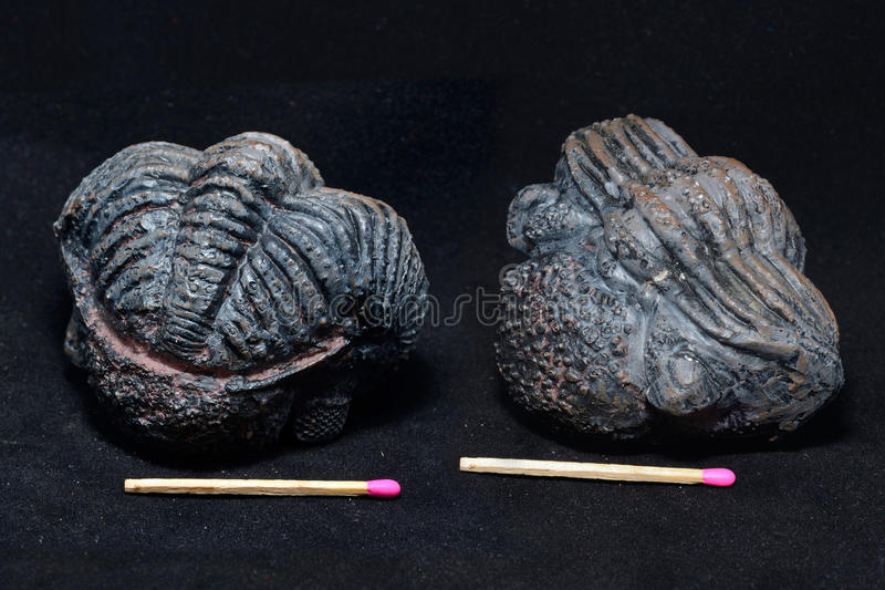 Trilobite fossil royalty free stock image
