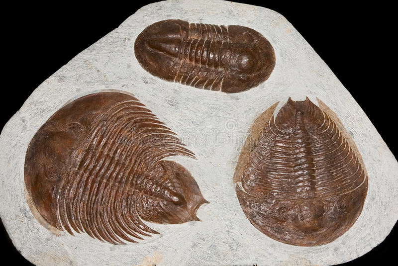 Trilobite fossils. Details of three different trilobite fossils, an extinct marine anthropoid . Class: Trilobita stock photography