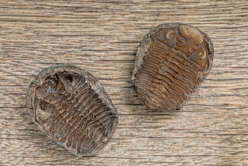 Trilobite fossils royalty free stock photography