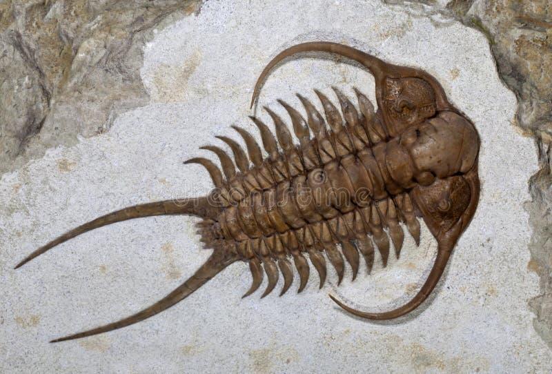 trilobite ingricus cheirurus ископаемое стоковое изображение rf