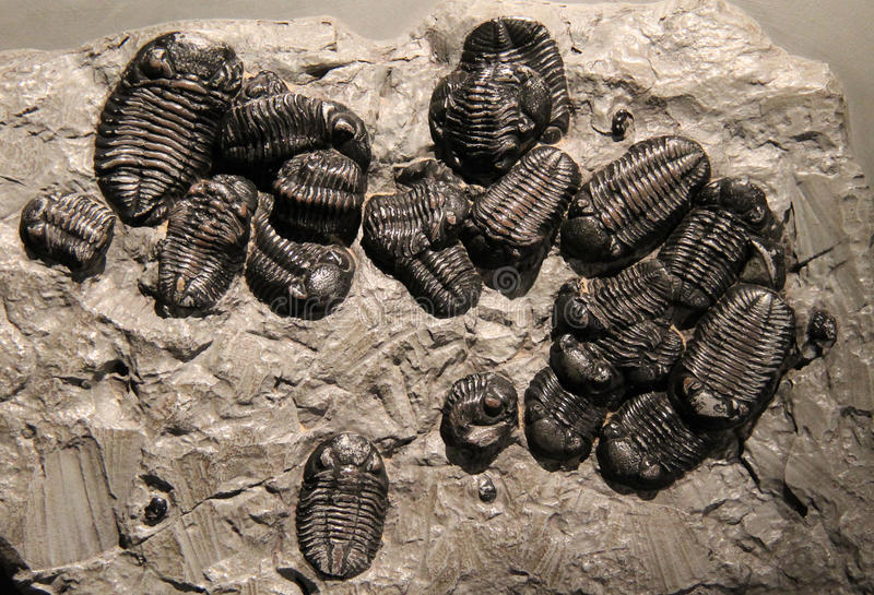 Trilobite Stone Fossil Remains. A Collection of Trilobite Stone Fossil Remains royalty free stock photos