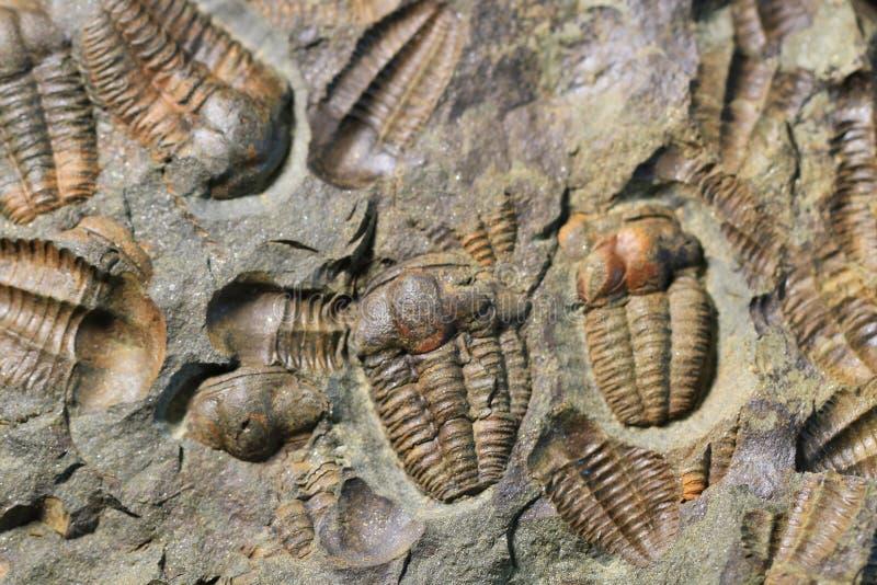 trilobite versteinerte Beschaffenheit stockfotos