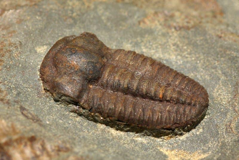 Trilobites royalty-vrije stock afbeeldingen