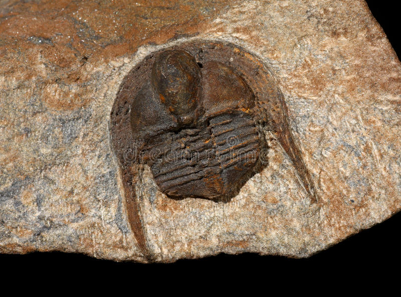 Trilobites royalty-vrije stock fotografie