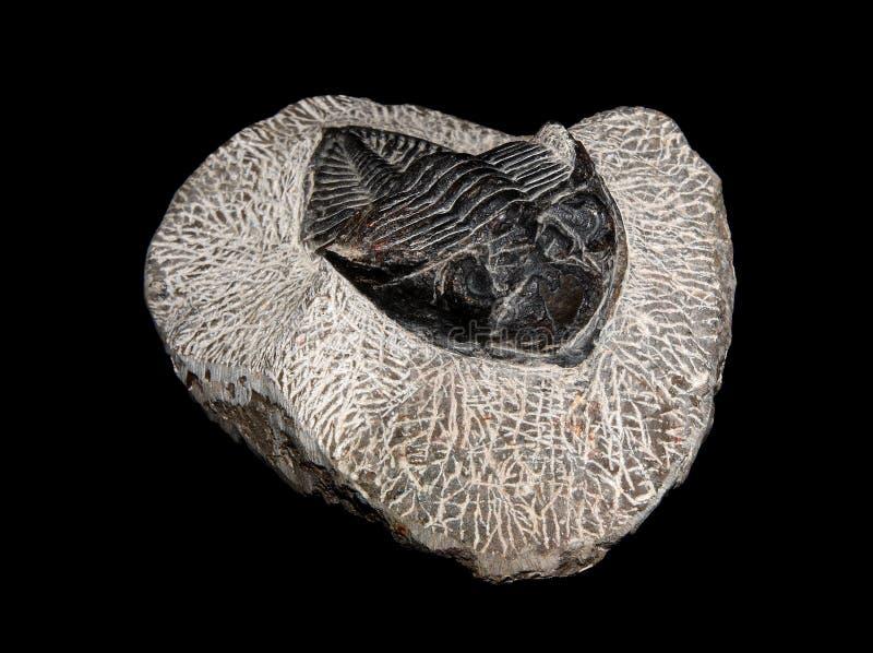 Trilobites photographie stock libre de droits