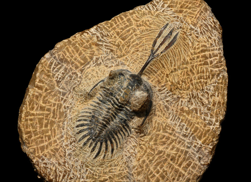 Trilobites stock foto