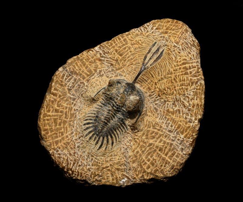 Trilobites stock afbeelding