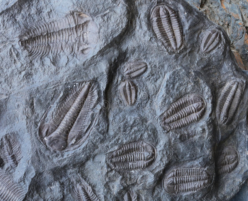 trilobites royalty-vrije stock afbeelding