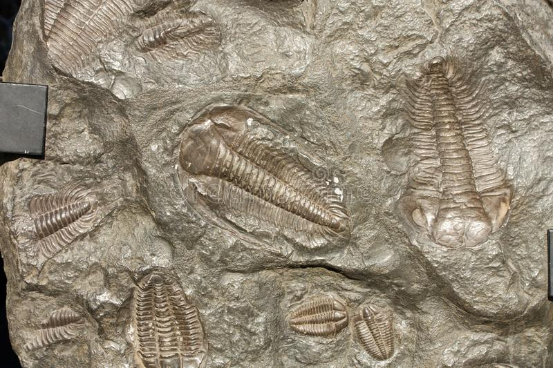 Trilobites fossiles image stock