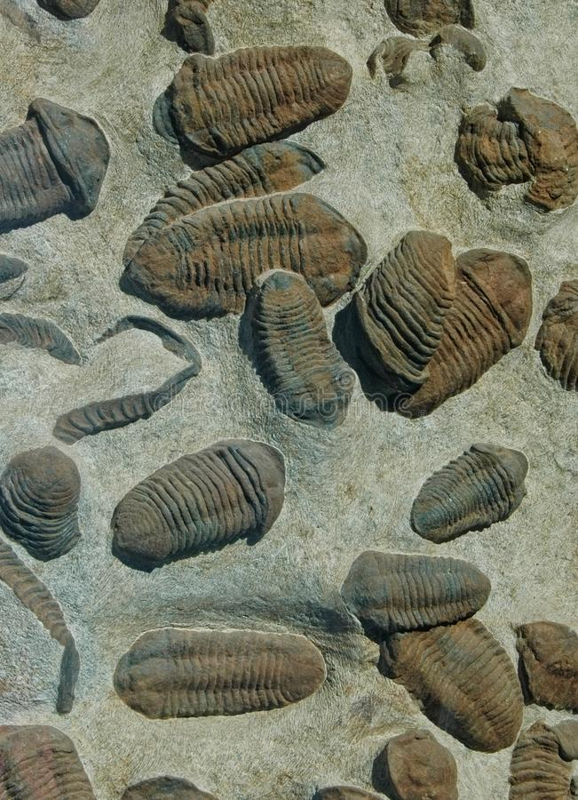 Trilobite fossils in matrix. Trilobites fossilized in sandstone matrix royalty free stock images