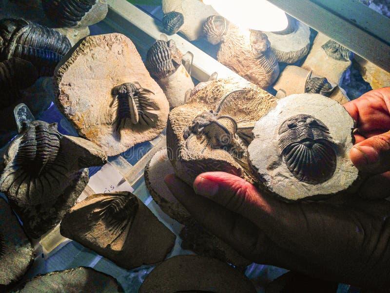 Trilobits grundade i Marocko, Afrika royaltyfri foto