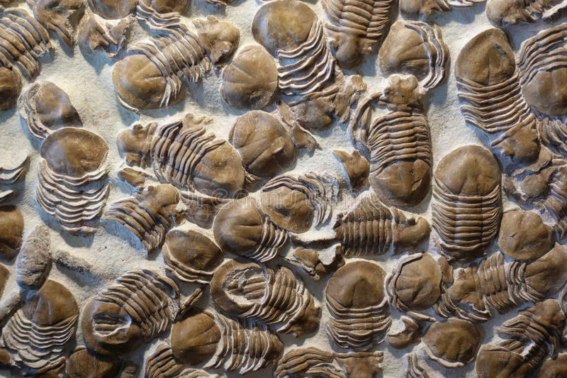 Trilobyte Fossils. Details of different trilobite fossils, an extinct marine anthropoid stock images