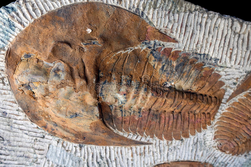 Trilobyte Fossils. On sand stone background royalty free stock photography