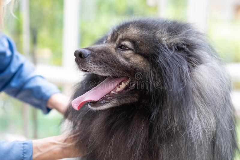Trimed Wolf Spitz Dog with tongue out stock photography