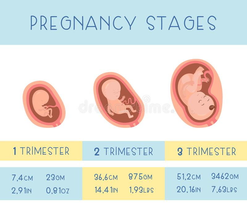 Three trimesters of pregnancy