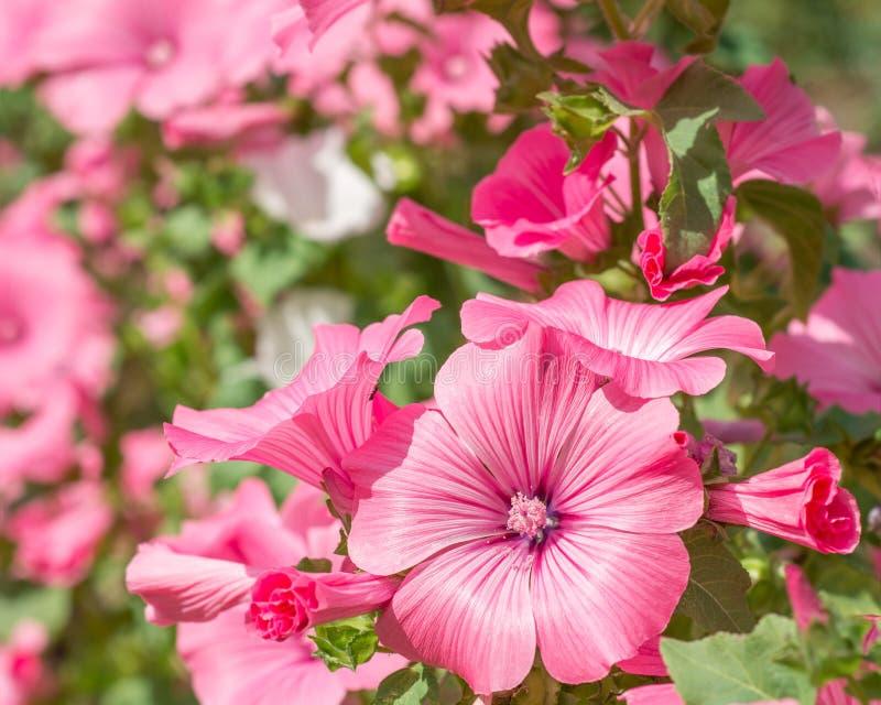 Trimestris Lavatera λουλουδιών στοκ φωτογραφίες με δικαίωμα ελεύθερης χρήσης